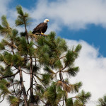 Bald Eagle Near Northeast End of Lyons