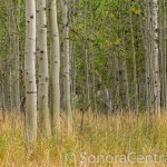 Green Aspens at Bell Meadow