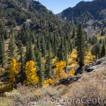 Aspen Trees along McKay Creek