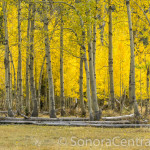 Fall Aspens at Barn Meadow